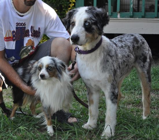 Mini Australian Shepherd Size Comparison Goldenacresdogscom