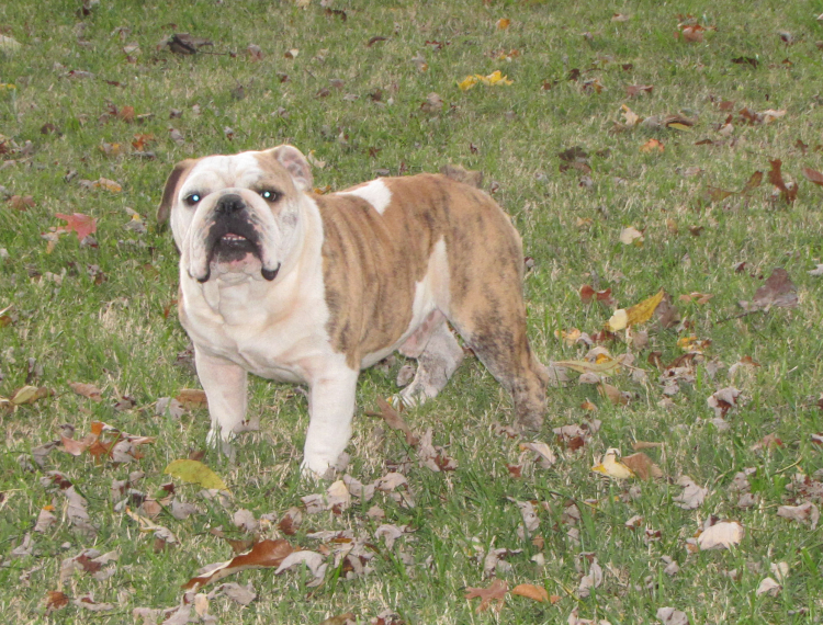 english bulldog puppies for sale by reputable english