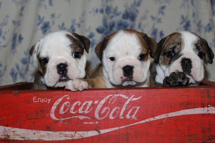 AKC english bulldog puppies for sale TN Tennessee AKC