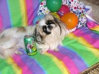 Toy and Sleeve Pekingese Pekingese puppies for sale