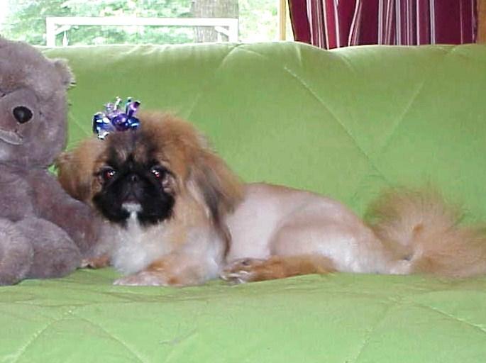 Toy and Sleeve Pekingese - Pekingese puppies for sale website Terry