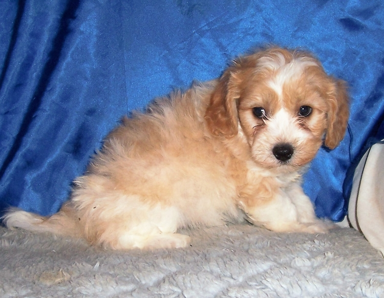 Dog Breeder & Small AKC Puppies For Sale in Kansas | Mary's Precious