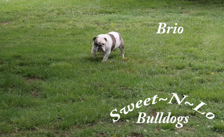 english bulldog tennessee akc english bulldog puppies for sale tn tennessee akc 5214