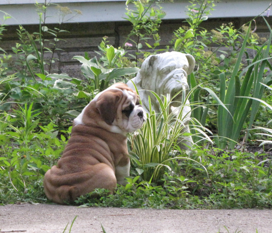 english bulldog tennessee akc english bulldog puppies for sale tn tennessee akc 7529