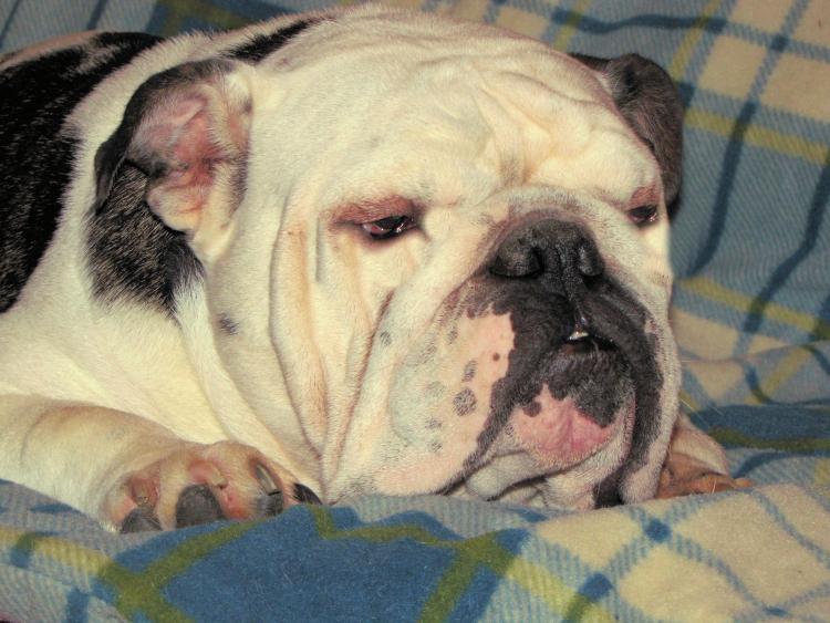 AKC english bulldog puppies for sale TN Tennessee AKC ...