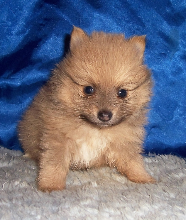 pomeranian for sale kansas city dog breeder small akc puppies for sale in kansas mary 2155