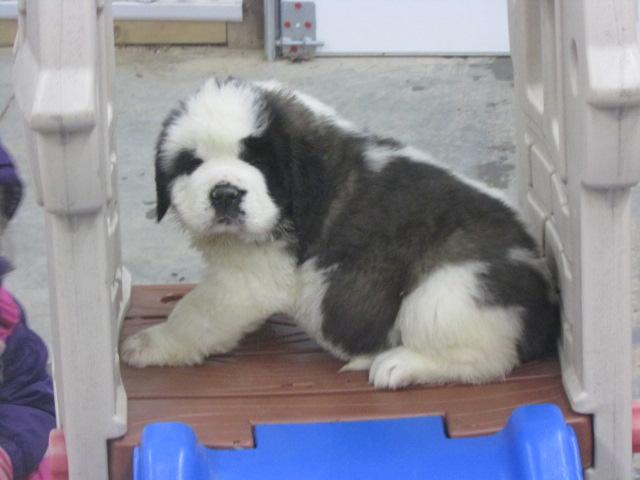 Dog Breeder Riverdale MI, Dog Breeder Michigan, Puppy Pawz Michigan